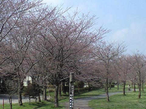 利根運河の桜並木、におどり公園