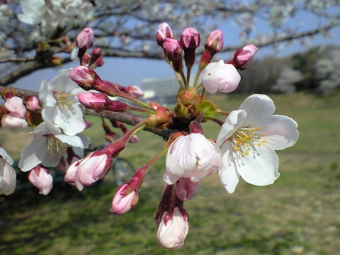 利根運河の桜並木06