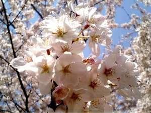 2006.04.04sakura002.jpg