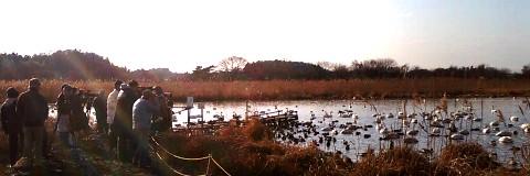 菅生沼(天神橋)の白鳥
