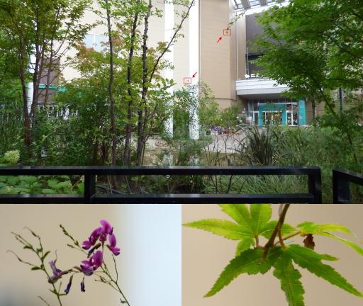 ハギの花とモジミの葉.jpg