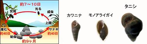 ホタルの一生と幼虫の餌