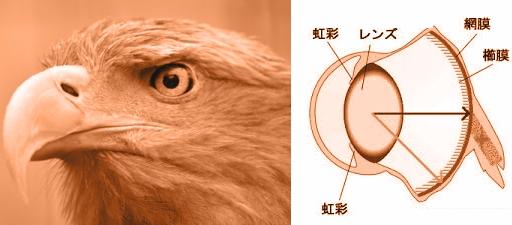 猛禽の網膜.jpg