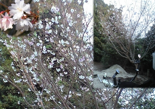 秋桜(コスモス)ではありません
