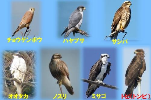 野鳥観察会2012.09.30で確認された猛禽類