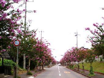 守谷の百日紅並木