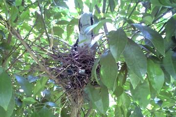 巣作りを始めた山鳩