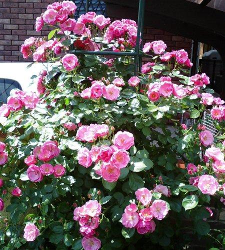roze003.jpg