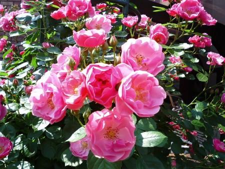 roze004.jpg