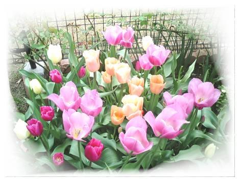 tulip_00.jpg