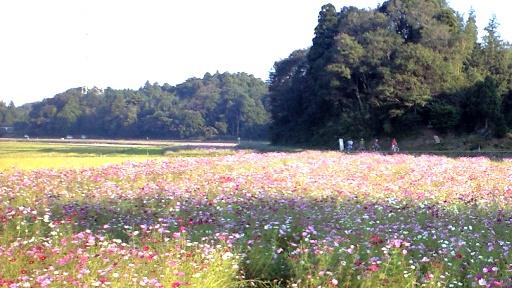 延々と続く秋桜畑