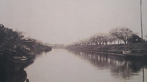 04利根運河の桜並木過去写真.jpg