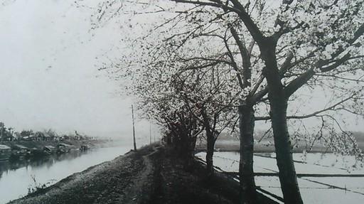 05利根運河の桜並木過去写真.jpg