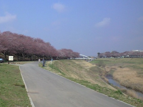 利根運河の桜並木01
