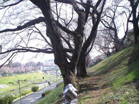 利根運河の桜並木、利根運河水辺公園
