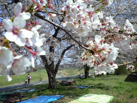 利根運河桜まつり07