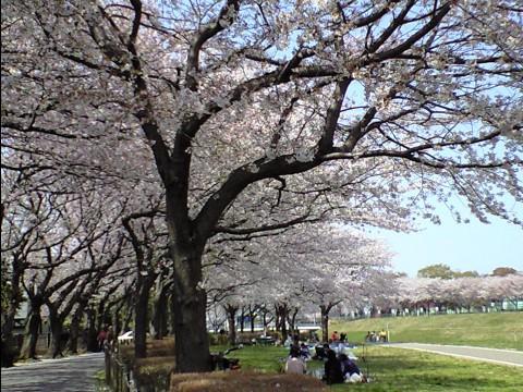 利根運河桜まつり06