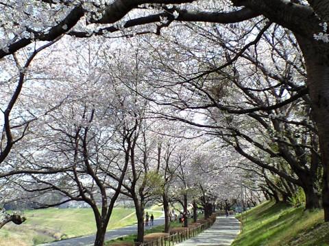 利根運河桜まつり05
