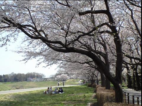 利根運河桜まつり04