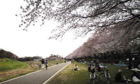 利根運河の桜,理科大対岸