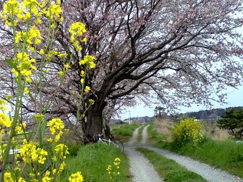新川耕地の桜