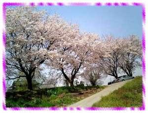 2006.04.04sakura001.jpg