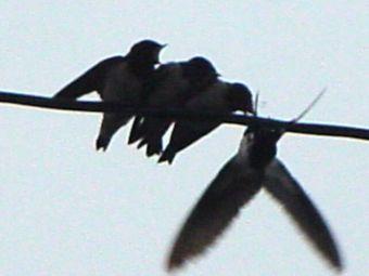 swallow_08.jpg