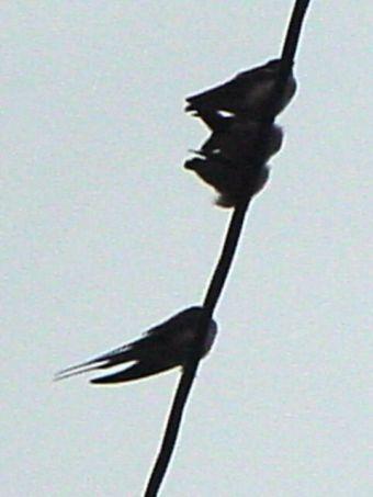 swallow_09.jpg