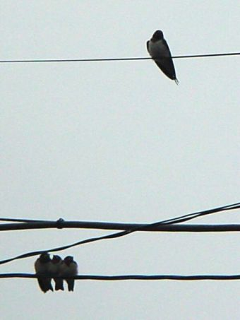 swallow_14.jpg